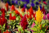 picture of celosia  - Cockscomb flower  - JPG