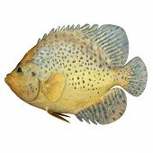 picture of aquatic animal  - A fish is any member of a paraphyletic group of organisms that consist of all gill - JPG