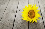 stock photo of sunflower  - single sunflower on old desaturated wooden surface - JPG