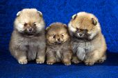 image of pomeranian  - Portrait of a three Pomeranian puppies age of 15 month over blue background - JPG