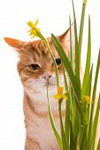 picture of domestic cat  - Orange domestic cat and daffodils isolated on white - JPG