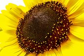 stock photo of stamen  - Macro view of sunflower with its crown and stamens - JPG