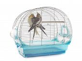 image of cockatiel  - young Cockatiel in cage in front of white background - JPG