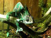 stock photo of chameleon  - A close - JPG