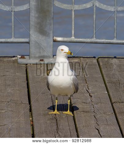 The Uncertain Gull