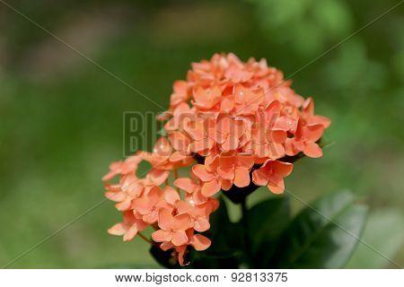 Orange Ixora ( Coccinea) Flowers