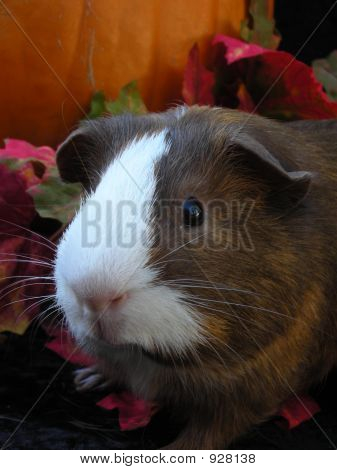 Autumn Cavy Face