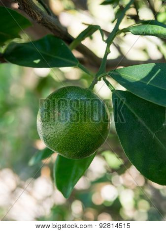 A small green fresh orange on the tree.It has a sour taste.