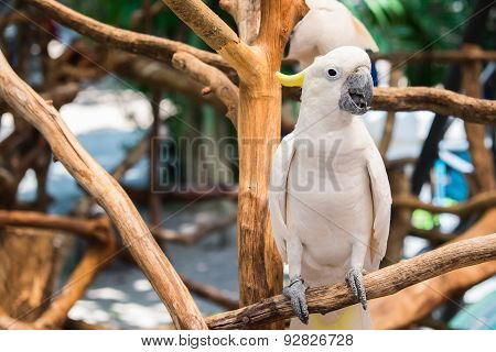 White Cockatoo Perched On Branch