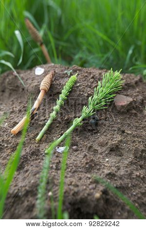 Field Horsetail Stages