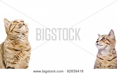 Portrait of two cats Scottish Straight closeup