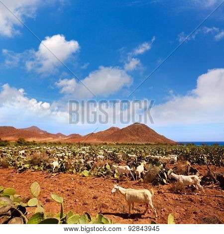 Almeria Cabo de Gata goats in Genoveses beach of Spain