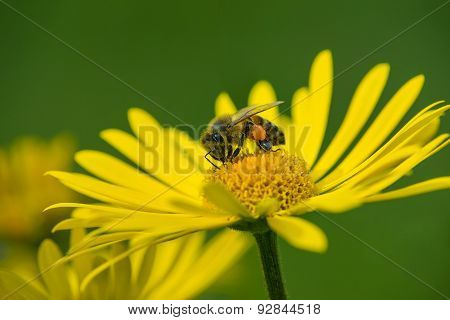 Honey Bee Pollinating Yellow Daisy Flowers In The Spring