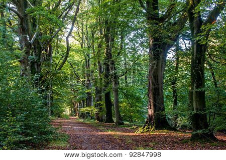 Nice Quiet Path In The Forest With Beech Trees