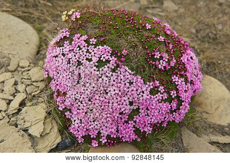 Purple saxifraga blossoms at the moss covering a stone in Longyearbyen, Spitzbergen, Norway.