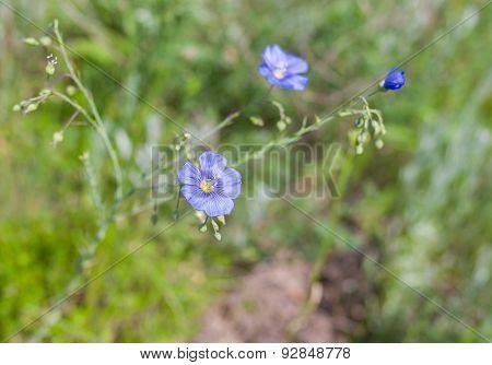 Wild linum (flax) flower