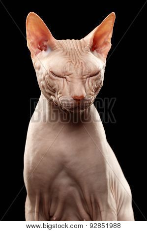 Bald Cat. Cat Of Breed Sphinx. Naked Cat Squinted On Black