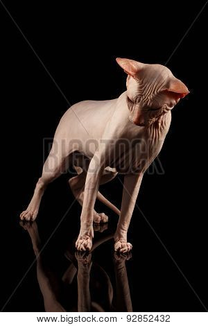 Pink Cat Of Breed Sphinx. Naked Cat With Mirror On Black