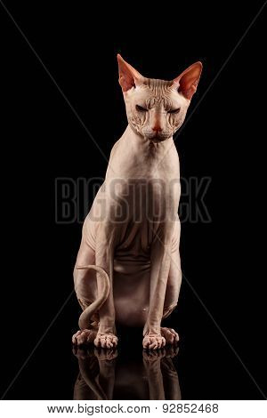 Pink Cat Of Breed Sphinx Sits. Naked Cat With Mirror On Black