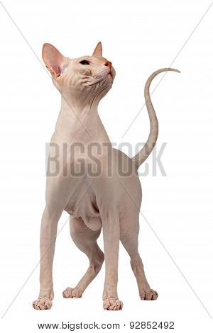 Pink Cat Of Breed Sphinx. Naked Cat Isolated On White