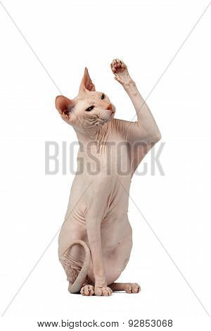 Pink Cat Sphinx Sits And Raising Up Paw Isolated On White