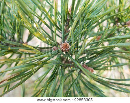Pine Needless