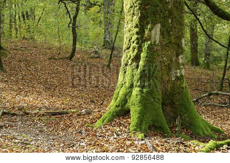 Moss on Irati Jungle, Pyrenees, Navarre, Spain.