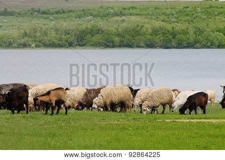 Flock Of Sheep And Goats Grazing