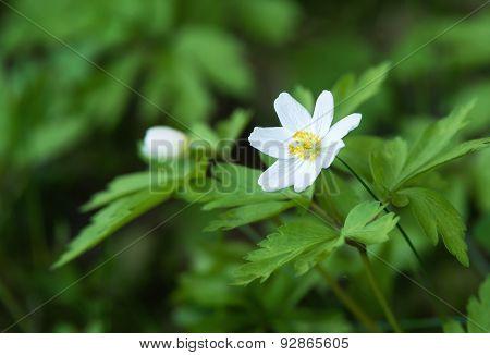 Wood Anemone Closeup