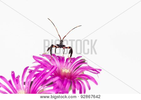 Wheel Bug Nymph On Flower