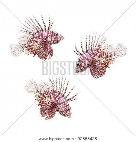 Tropical fish. The Red Lionfish (Pterois volitans) isolated on white background.