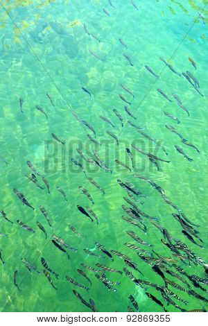 Shoal of fish.  Natural turquoise background.