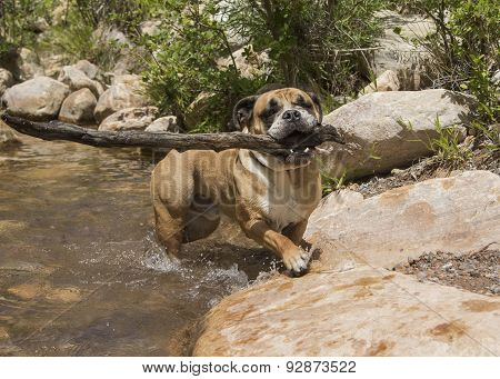 Bulldog getting out of the water with a stick