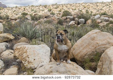 Bulldog sitting on the rocks