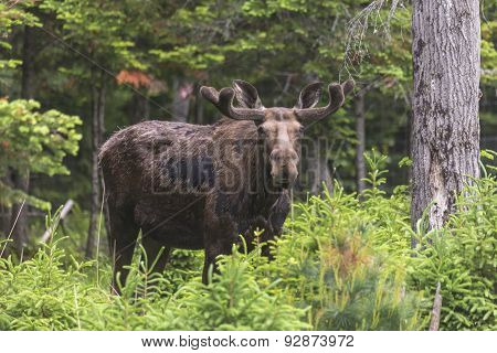 A lone large moose in the woods
