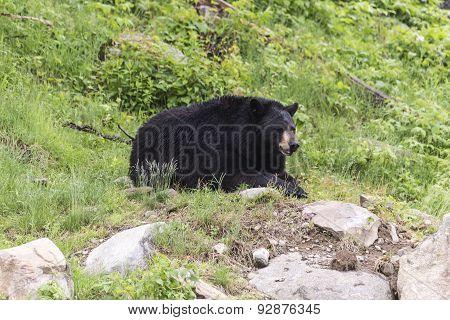A lone black bear