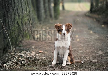 Australian Shepherd Puppy sitting On Forest Way, Shallow Depth Of Field.
