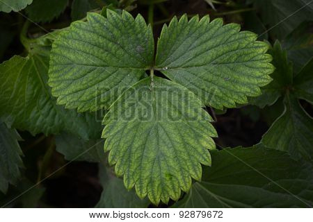 Leaves of a strawberry plant