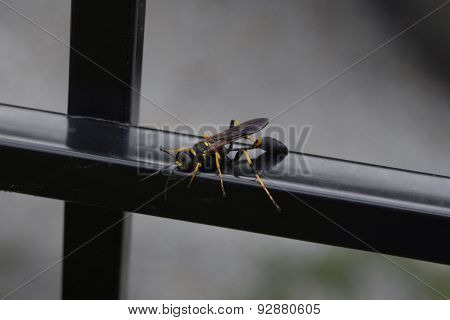 Black and yellow potter wasp