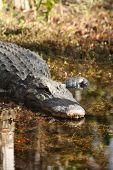pic of crocodilian  - a picture of an american alligator in the water - JPG