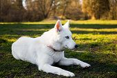 stock photo of siberian husky  - Purebred white siberian husky lying on a lawn - JPG