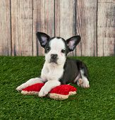 image of toy dogs  - Cute little Frenchton puppy laying in the grass outdoors with a dog toy with copy space - JPG