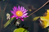 foto of water bug  - Purple and yellow water lily on the dark water - JPG
