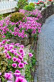 stock photo of petunia  - Beautiful Surfina petunias in flower beds on a street - JPG