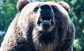 pic of grizzly bear  - A grizzly is a dangerous bear to encounter