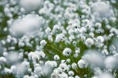 stock photo of swamps  - Natural background with blooming cotton grass in a swamp