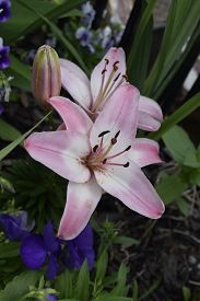 stock photo of asiatic lily  - A pink and white Asiatic lily with two fully open blooms and one closed. ** Note: Shallow depth of field - JPG