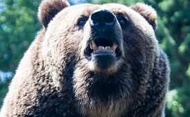 stock photo of grizzly bear  - A grizzly is a dangerous bear to encounter
