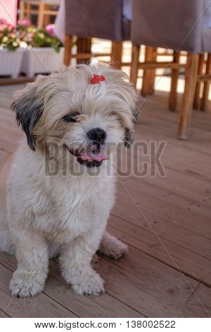 Close-up shih tzu dog sitting on a wooden ground