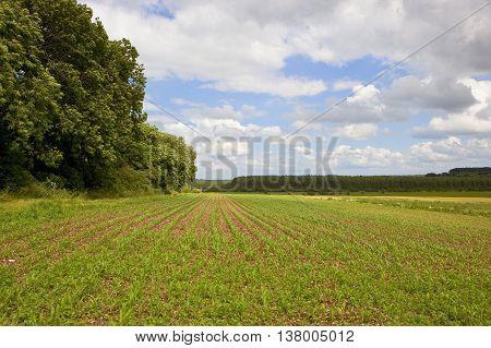 Maize Field In Summer